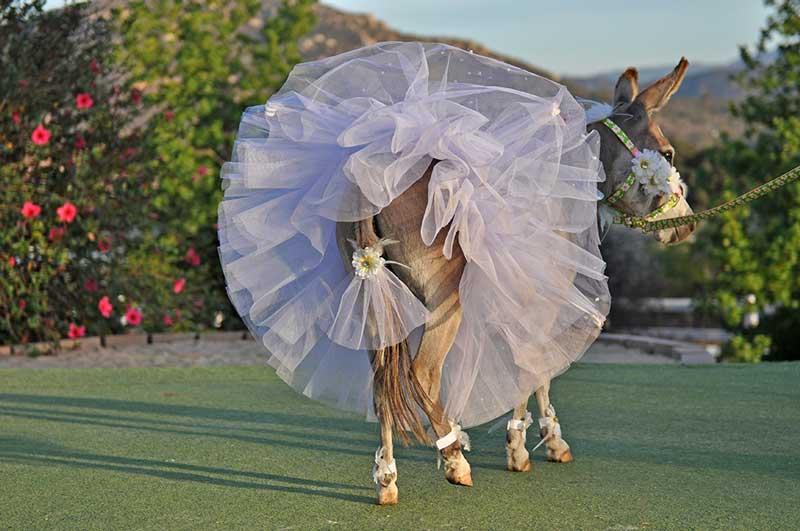 Fantasy Donkey Bride