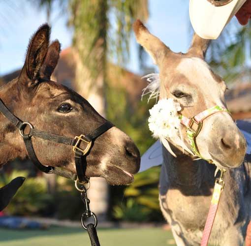 Fantasy Donkey Anniversary Donkeys